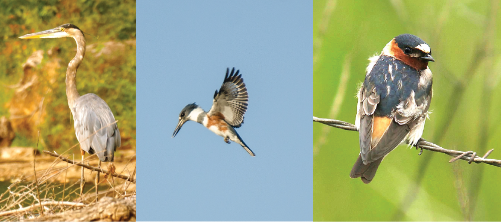 photos of an Egret, Belted Kingfisher, and Cliff Swallow.
